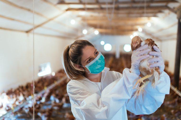 tips ternak ayam tanpa bau