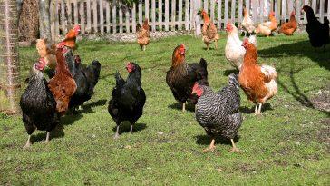 ayam broiler dan layer