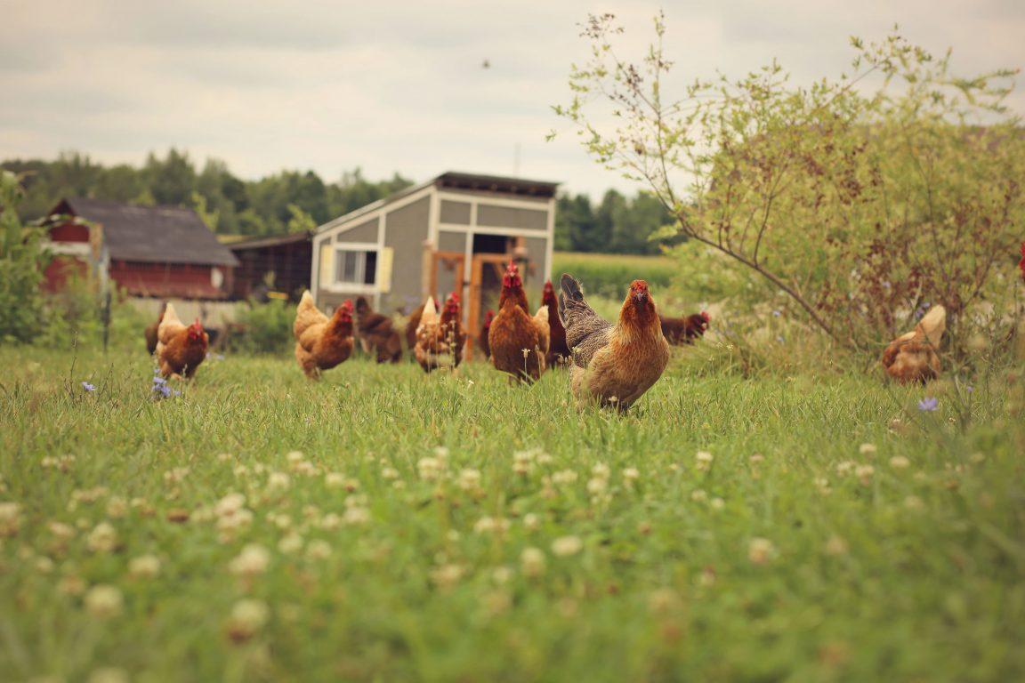 Inilah Rahasia Cara Ternak Ayam tanpa Bau dan Kotor