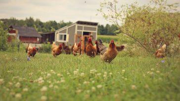 ternak ayam tanpa bau