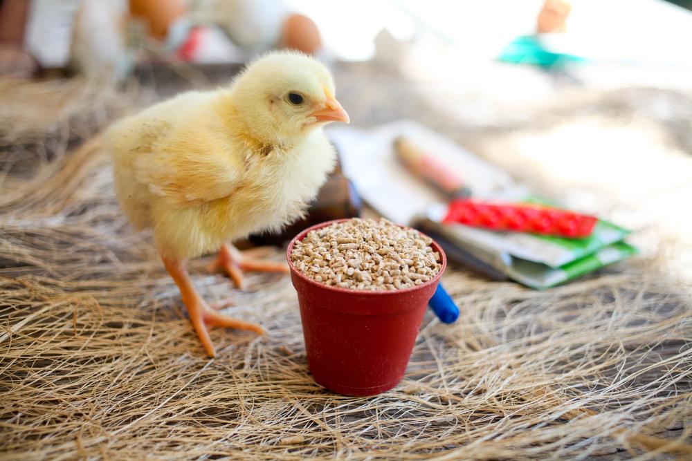 4 Mencegah DOC Ayam Stress Paling Manjur