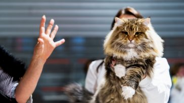 cat beauty contest